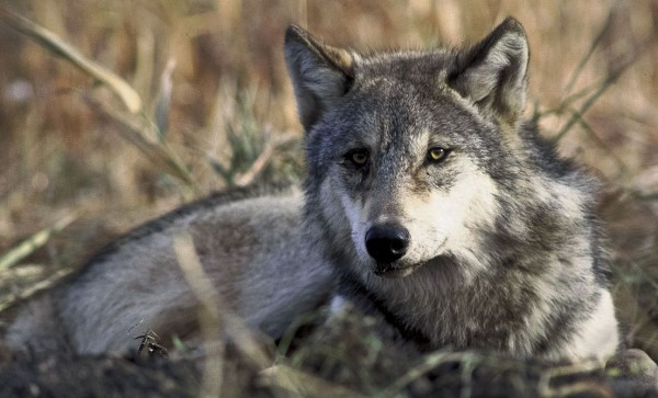 USFWS Plan to Delist Gray Wolf - Unsound Science